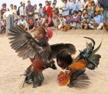 las-peleas-de-gallos