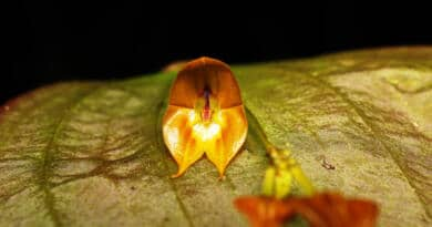 Nueva orquídea lleva el nombre del cantón Tulcán
