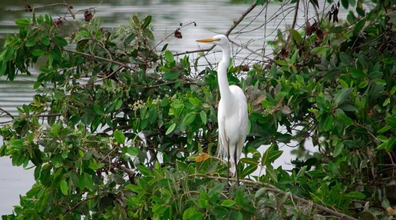 """En Manabí: Se realiza conteo de aves en el humedal La Segua, con miras a ingresar al """"Audubon"""" 2021"""
