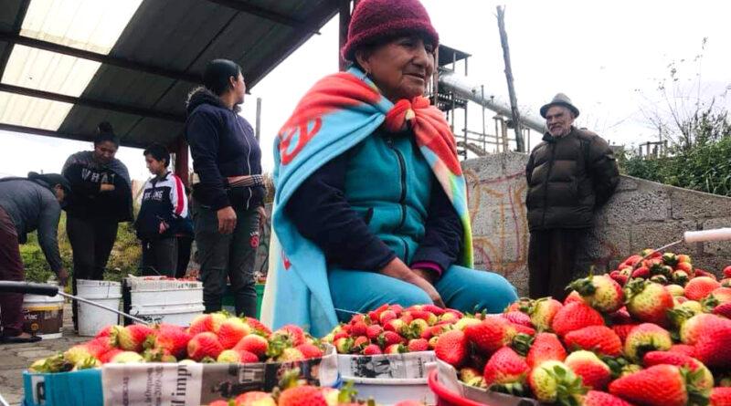 Tisaleo, principal productor de mora y fresa